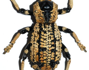 Pack of 2 impressive weevils Rhytidophloeus rothschildi UNMOUNTED,for all your taxidermy art projects