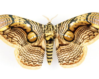 One large brahmaea celebica , wings closed , large moth WS 100+ mm  aa-/a- quality for all your taxidermy art projects