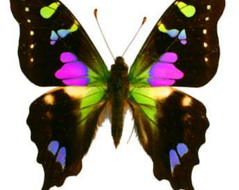 Pack of 5 butterflies graphium weiskei  ws 7O/75mm  closed wings  A1 and aa- mixed ,for all your taxidermy art projects