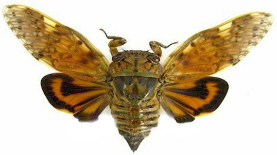for all your taxidermy art projects FREE SHIPPING Pack of 2 beautiful cicadas Cryptotympana mandarina with spread wings