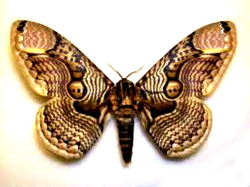 One large brahmaea hearseyi  wings closed  large moth WS image 0