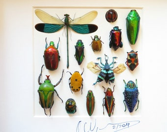 Wooden design shadowbox  taxidermy with real beetles and other insects, 250 X 250 mm ,