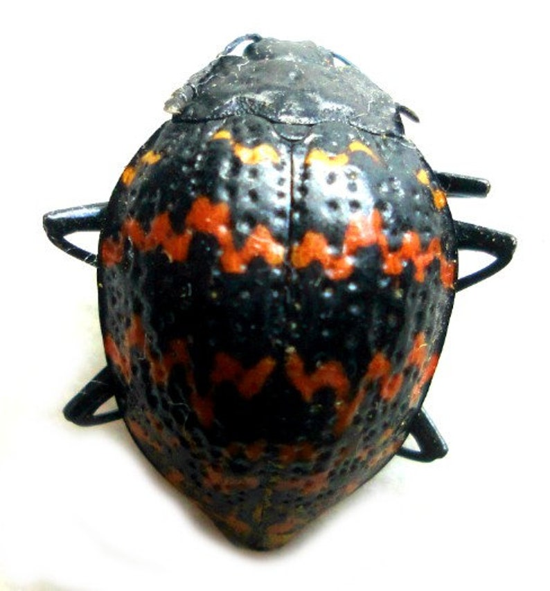 :  Set of 5 zigzag fungus  beetles   20mm from Peru UNMOUNTED dried insects FREE SHIPPING Supplies for taxidermy jewelry art work