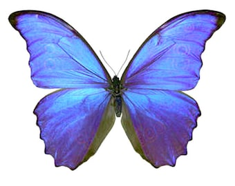 Two large blue  butterflies morpho didius with closed wings a1 to aa- quality, for all your taxidermy art projects.