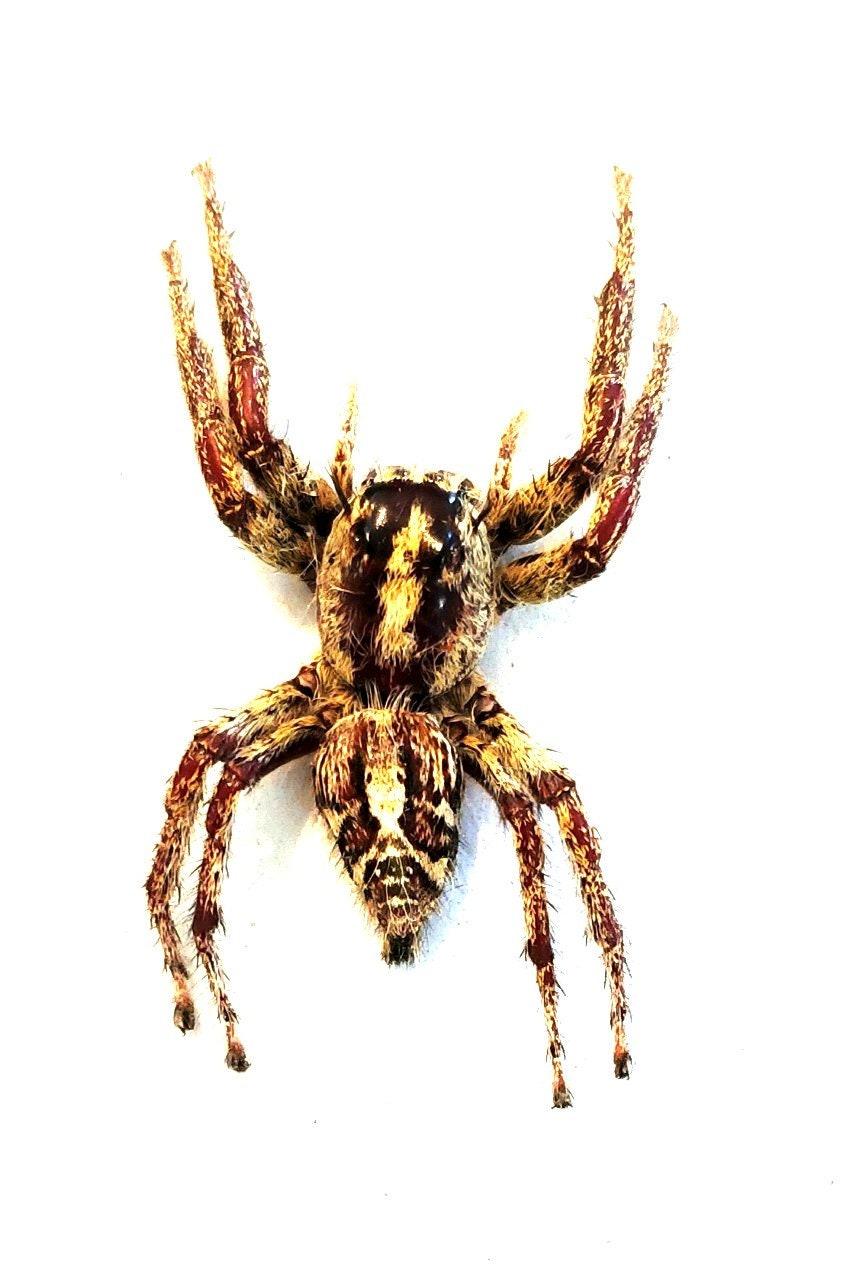 Pack Of 2 Female Jumping Spiders Hyllus Diardi Arachnid Etsy