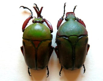 Two pair (male and female) of the african flower beetle Eudicella euthalia euthalia a1 for all your taxidermy art projects