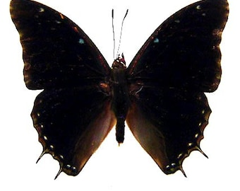 Pack of 3 charaxes etheocles WS 70/75mm for all your taxidermy art projects , wings closed A1 quality,