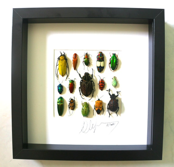 Shadowbox taxidermy real insects FREE SHIPPING 250 X 250 mm Wooden design frame with real beetles