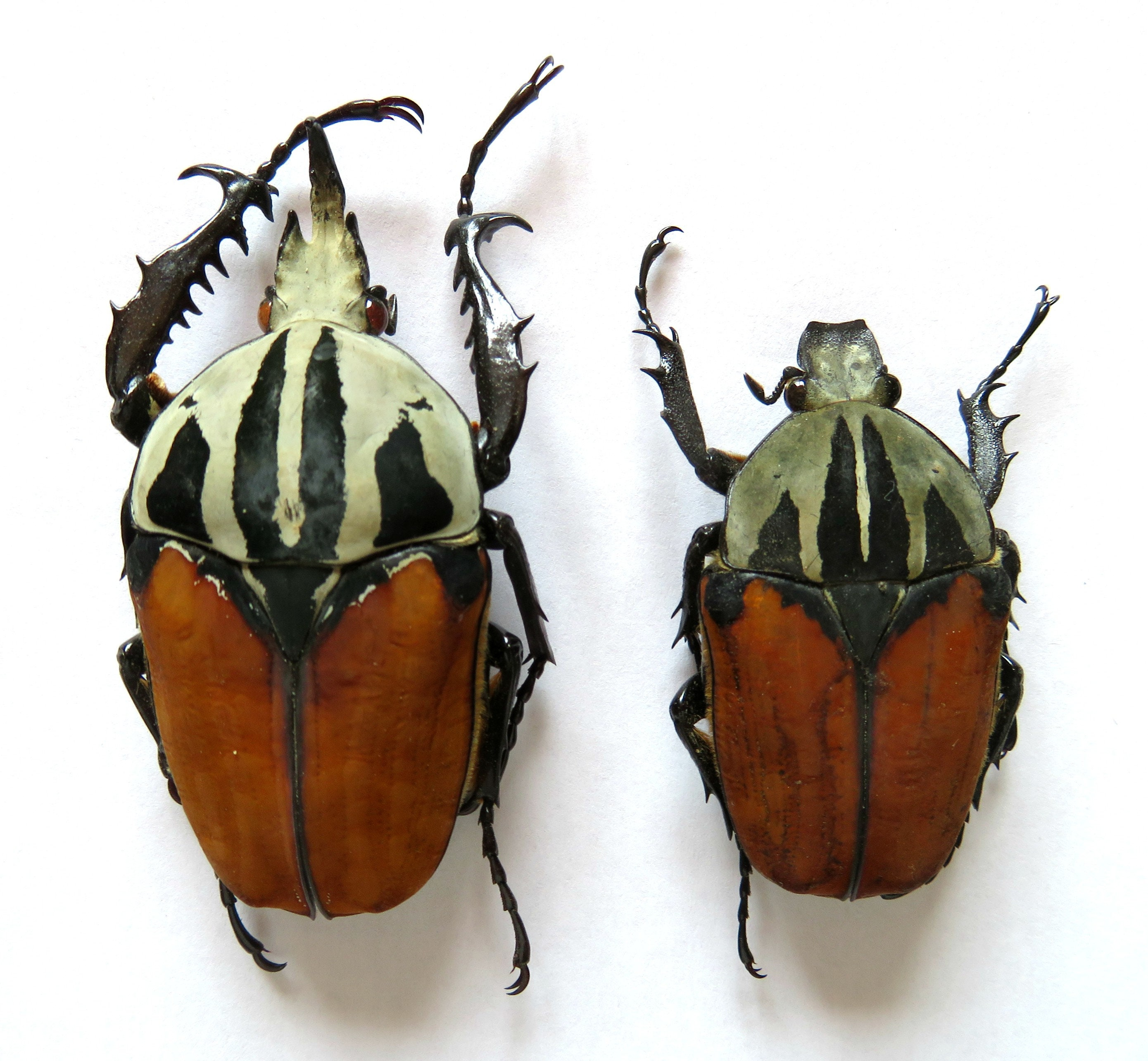Eudicella trilineata PAIR  Taxidermy REAL unmounted Insect Beetle