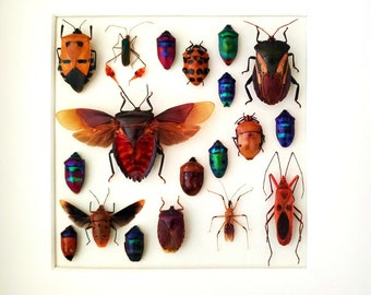 Wooden design shadowbox  taxidermy with real insects , hemiptera of the world,