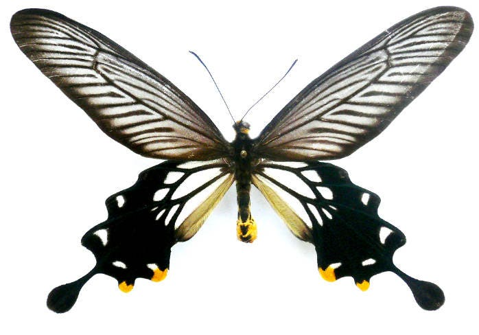 Supplies for taxidermy artworks FREE SHIPPING hemiptera : Set of  15 Scutellerinae ssp Mindanao real insects unmounted A1 quality