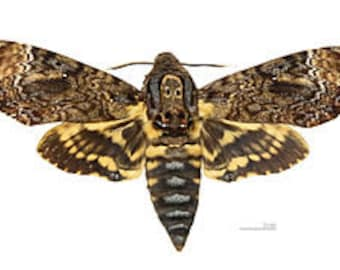 One large death head s hawkmoth acherontia lachesis with wings closed a1/aa-, for all your taxidermy art projects