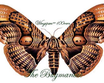 One large brahmaea wallichi , wings closed , large moth WS 100+ mm  aa-/a- quality for all your taxidermy art projects