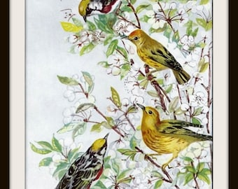 Chestnut-Sided Warbler Book Print (1932): Frameable Wall Art, Bird Illustration, White Apricot Blossoms, Yellow Black Green, Shabby Cottage