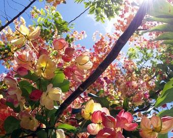 "Lustre fine art print of original photograph- ""Blossoms"""