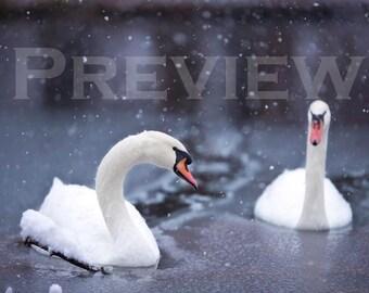 Swans, Ice Breakers