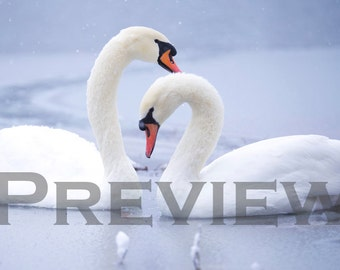 Swans, Embracing the cold