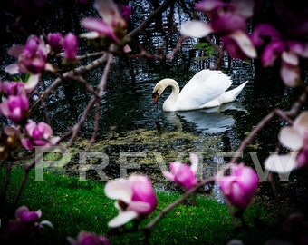 Swan with Magnolias