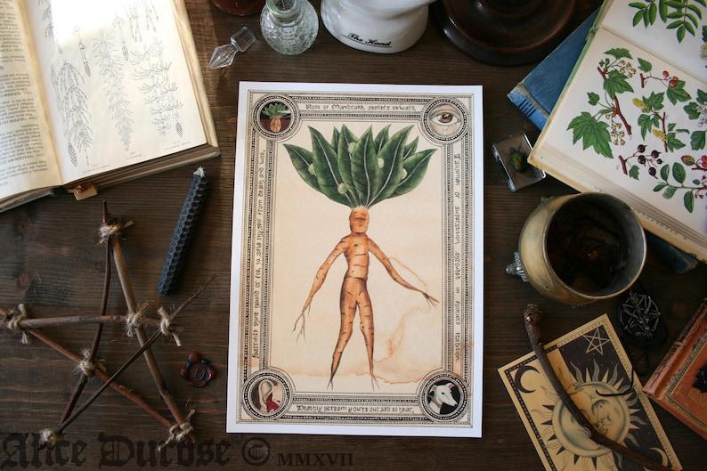 Mandrake Root A4 Fine Art Print Giclee Maleficia and Magic image 0