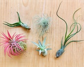 Air Plants Assortment Up to 5 quot Tillandsia Air Plant Terrarium Air Plant Wedding Decor Wedding Favors Plants Air Plants Bulk Guatemala AKA