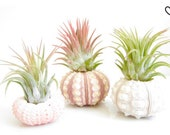 Air Plant Urchin-Set of 3-Sea Urchin Air Plant Holder with Tillandsia-Air Plant Terrarium-Pink Sea Urchin Air Plant-Air Plant Supplies