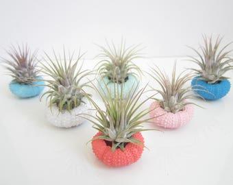 Air Plant Sea Urchin Terrarium-Housewarming Gift-Air Plant Decor-Beach Wedding Decor-Cute Gifts-Birthday Gift-Air Plant Holder-Tonna Shell
