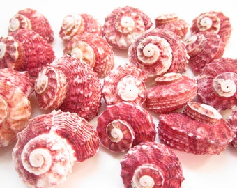 Red Delphinula Shells-Sea Shells For Crafting-Beach Wedding Decor-Red Shells-Crafting Shells-Shells Supplies-Sea Shells Bulk-Shells-Shells