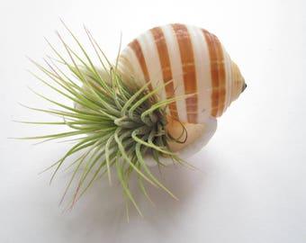 Air Plant Sea Shell Terrarium-Housewarming Gift-Air Plant Decor-Beach Wedding Decor-Cute Gifts-Birthday Gift-Air Plant Holder-Tonna Shell