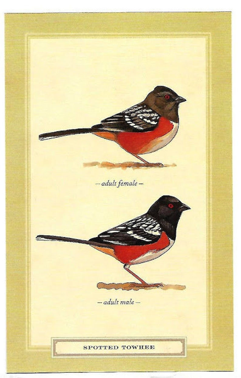 Spotted Towhee Birds Postcard Bird Nature Art Illustration David Sibley Design  Wildlife Colors America Songbird Watching backyard garden