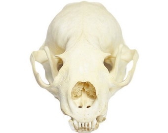 Real American mink skull with all teeth jaw without any damage high quality taxidermy premium