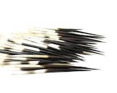 African Porcupine Quills 3-5 quot 10 pieces