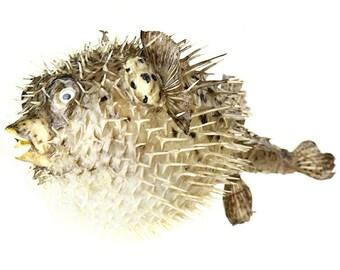 3dbd15f6cdf80 Porcupine Puffer Blowfish 12-13