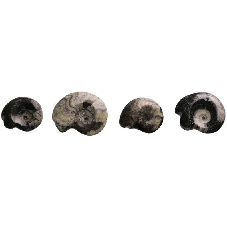 Mini Polished Goniatite Ammonite Fossils 1-1.5