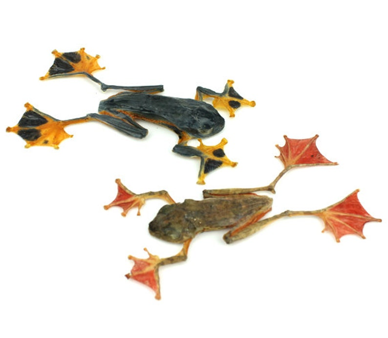 Flying Tree Frog /& Harlequin Tree Frog Dried Specimens Set of Real Taxidermy Tree Frogs