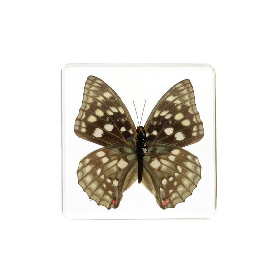 Japanese Emperor Butterfly Real Butterflyin Shadowbox Mount