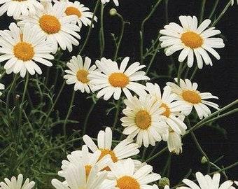 Bold Blooms Fresh Organic Seed PERENNIAL: PYRETHRUM DAISY 50-60 SeedsRobinsons Giant Single Mix