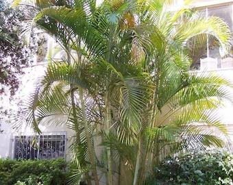 Dypsis sp White petiole Palm 5 seeds