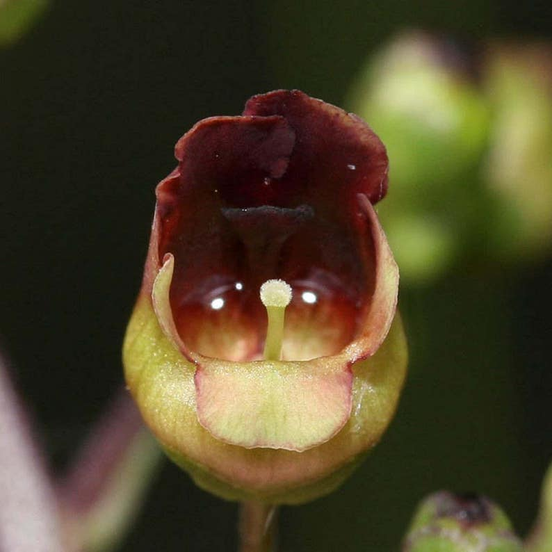 Scrophularia nodosa Figwort Seeds 20 Seeds in Frozen Seed Capsules\u2122 for Seed Saving or Planting Now