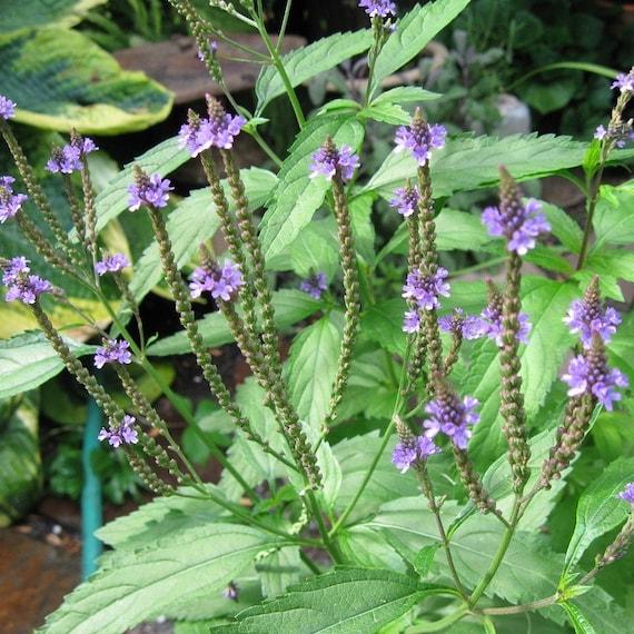 Vervain Seeds Verbena officinalis 40 Chinese Medicinal Herb