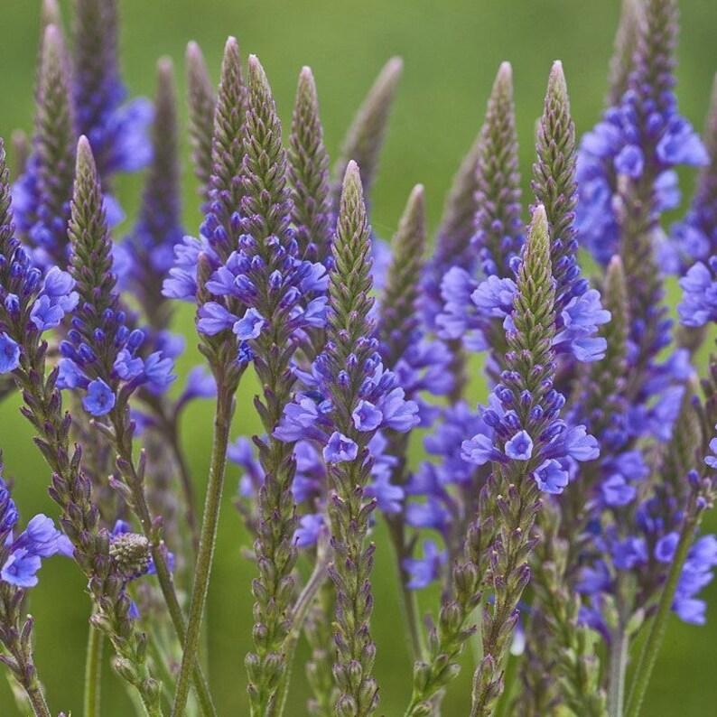 Blue Vervain Seeds (Verbena hastata) 200+ Medicinal Herb Wildflower Seeds  in Frozen Seed Capsules™ plus FREE 6 Variety Seed Pack!