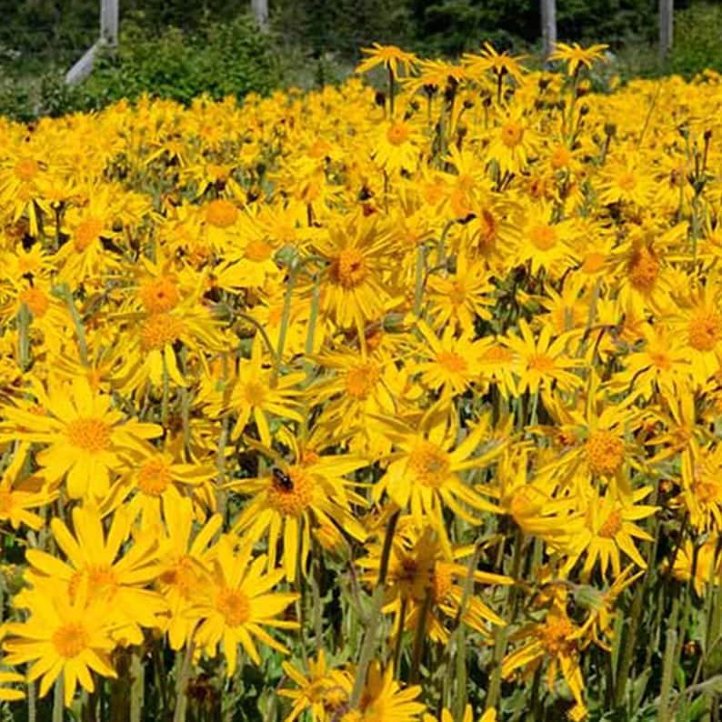 Arnica montana Packet of 40 Seeds Palm Beach Seed Company European Arnica Seeds