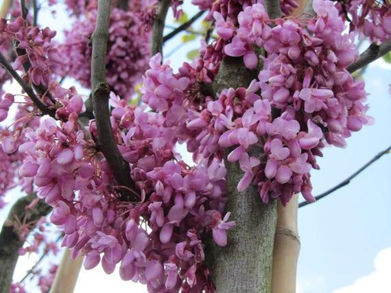 Judas Tree 10+ Seeds Heirloom! Cercis siliquastrum