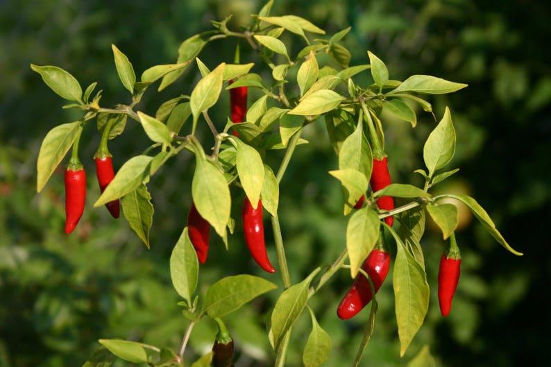 10 seeds Thai Bird Chili Pepper