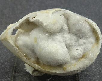 Drusy Quartz-lined Fossil Gastropod shell, India.  Mineral Specimen for Sale