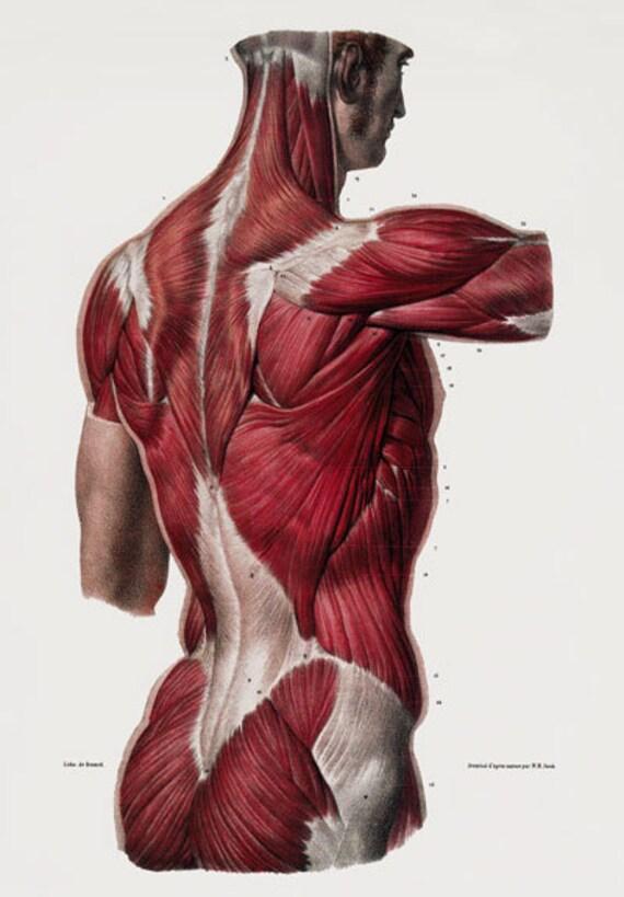 ML25 Médico humano posterior músculos anatomía Poster volver a | Etsy