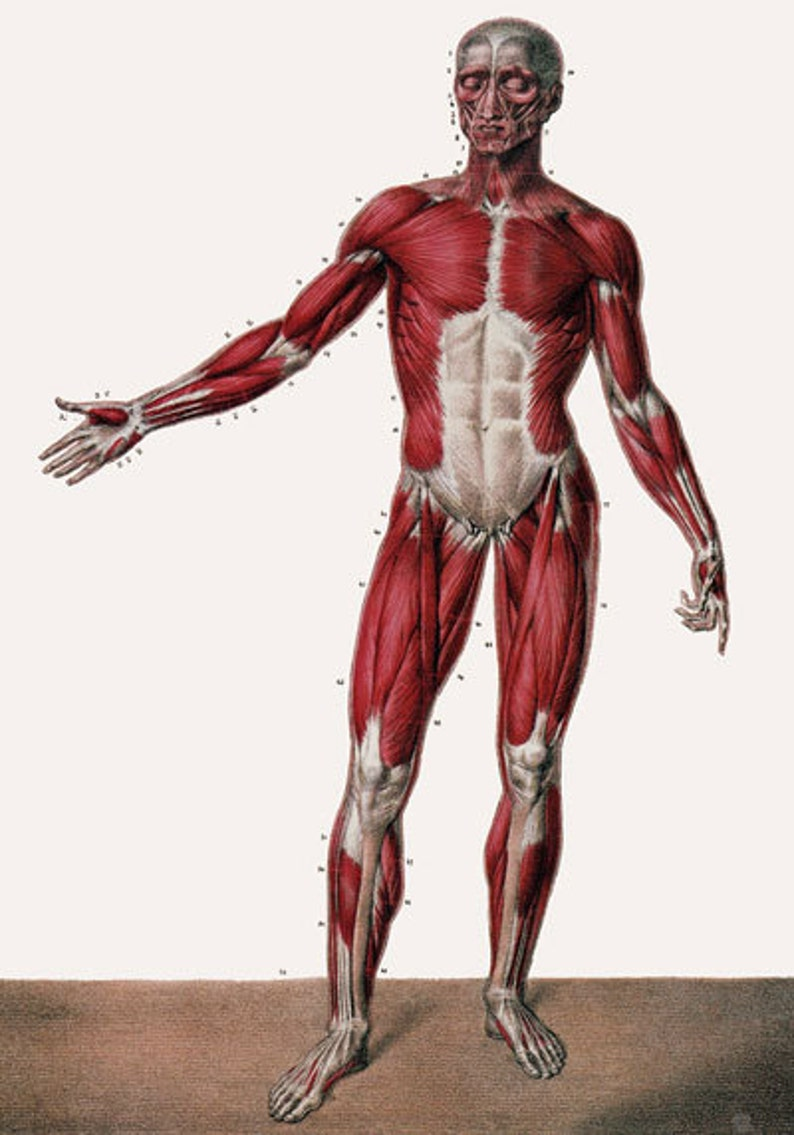 Ml24 Vintage 1800s Medical Human Full Body Muscles Anatomy Poster