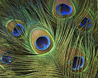 Peacock Eyes - Male Tail Feathers - Natural Color