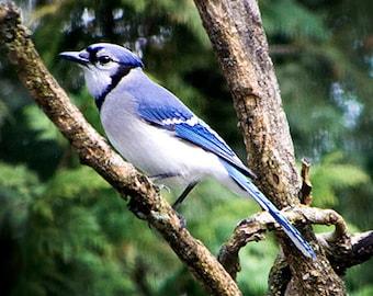 Bird Photography,Bird Photo of Blue Jay,Picture of Birds,Photograph of Blue Jay Bird,Bird Photo,Blue Jay Bird in Tree,Blue Bird Photography