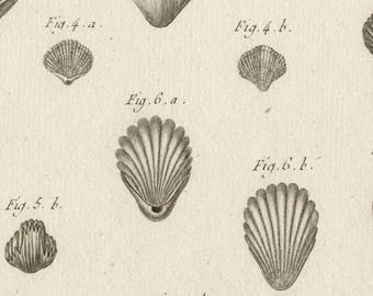 French Shell engraving from Lamarck's 'Histoire Naturelle des Coquilles'. Circa 1780.