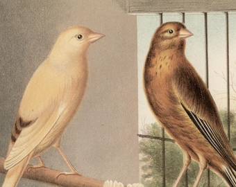 Canaries - Linnet & Canary Mules, original antique print, c1880